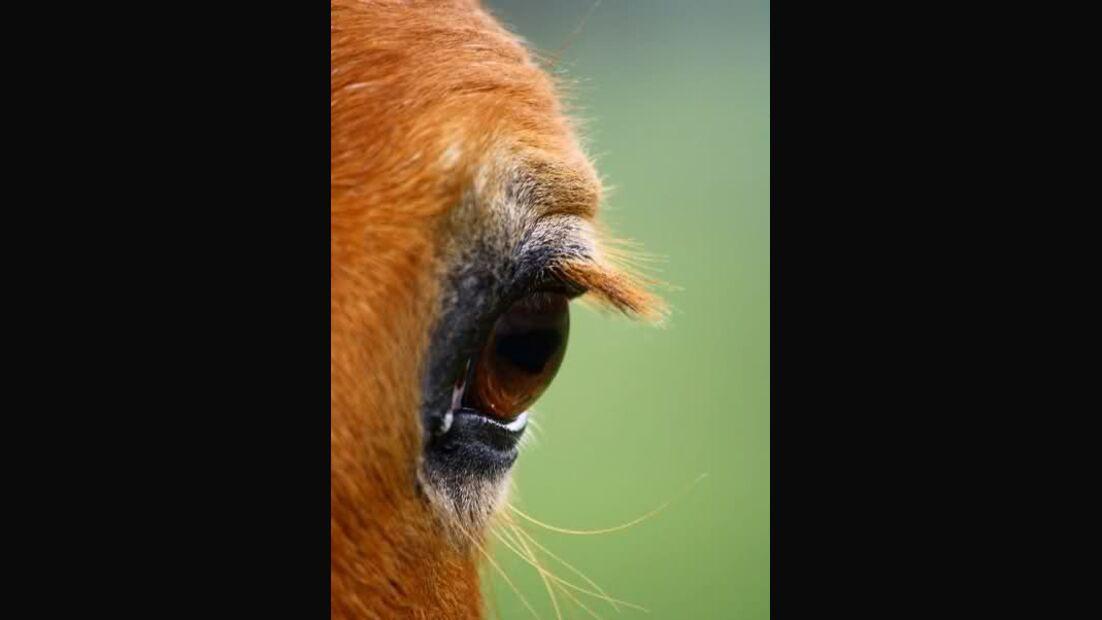 CAV Pferdeaugen Augen Haflinger Gerken