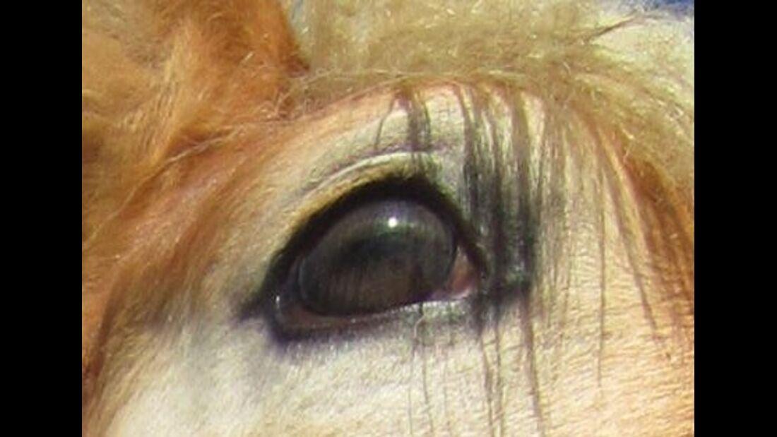 CAV Pferdeaugen Augen Haflingerfohlen MS_31
