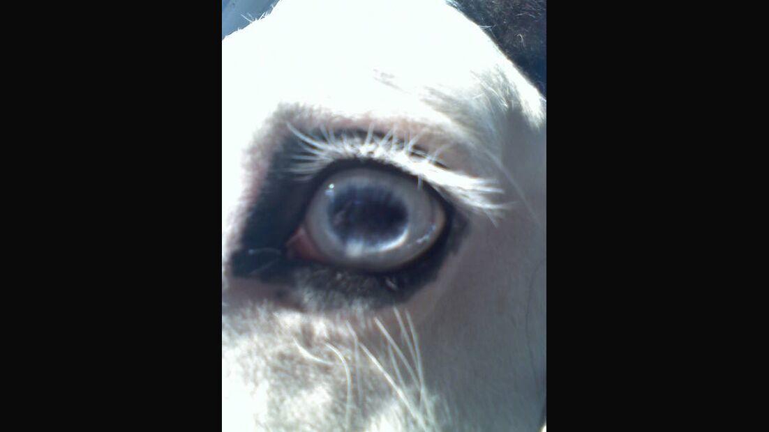 CAV Pferdeaugen Augen Irish Cob