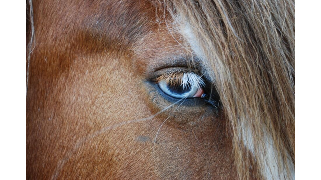 CAV Pferdeaugen Augen Irish Cob MS_51