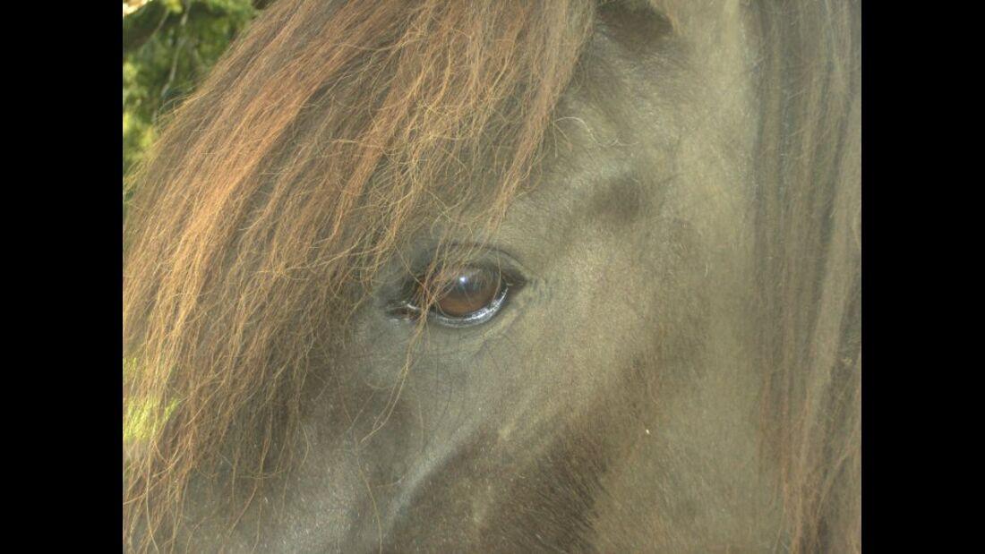 CAV Pferdeaugen Augen Isländer MS_62