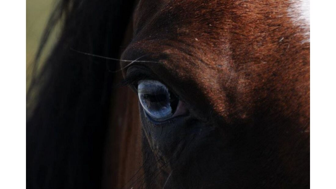 CAV Pferdeaugen Augen KWPN MS_37