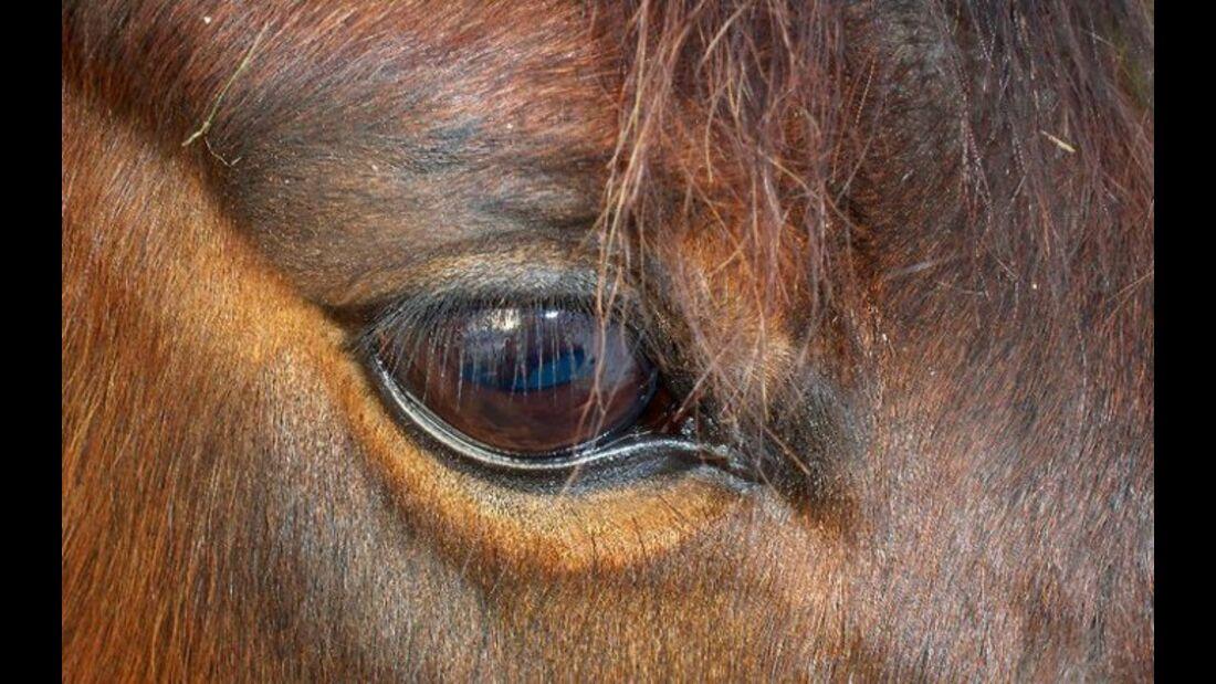 CAV Pferdeaugen Augen MS _11