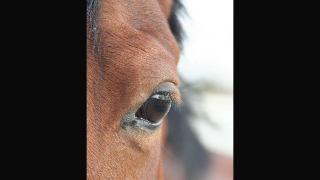 CAV Pferdeaugen Augen MS _13