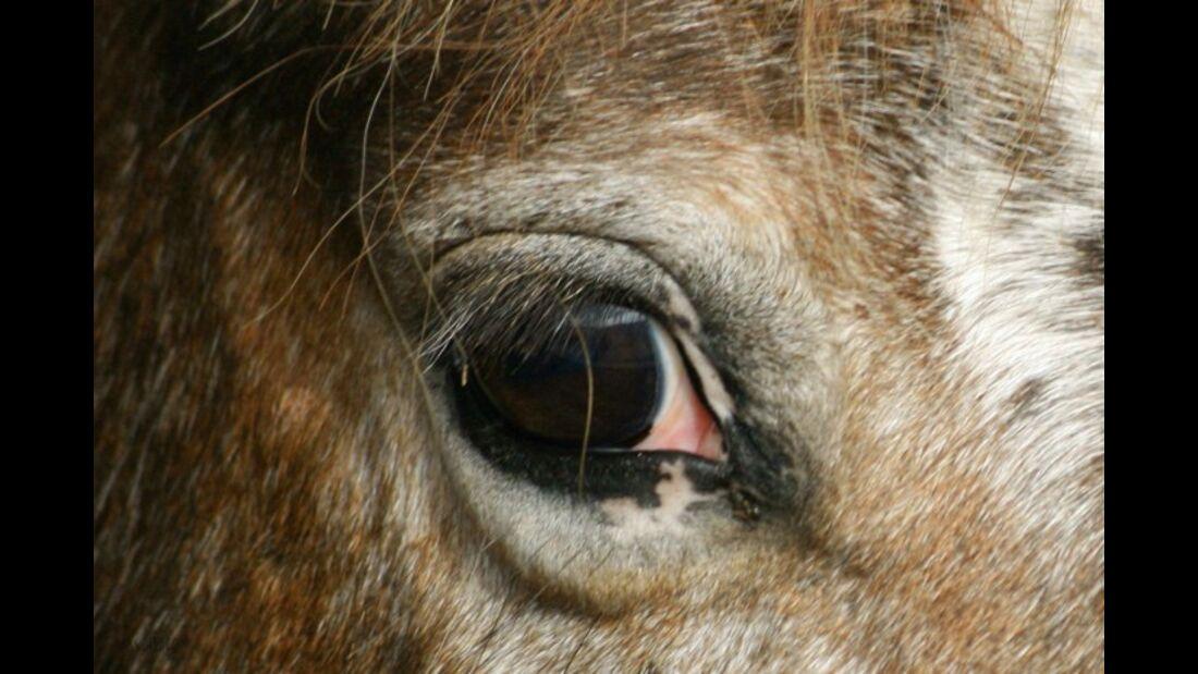 CAV Pferdeaugen Augen MS_66