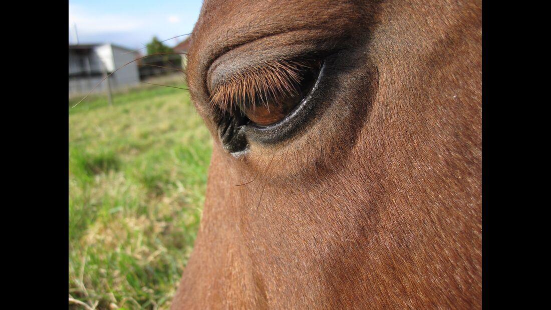 CAV Pferdeaugen Augen MS Rosina Kroell