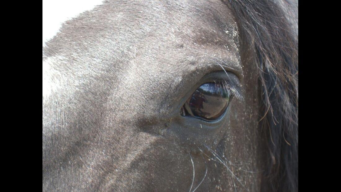 CAV Pferdeaugen Augen Paint MS _19