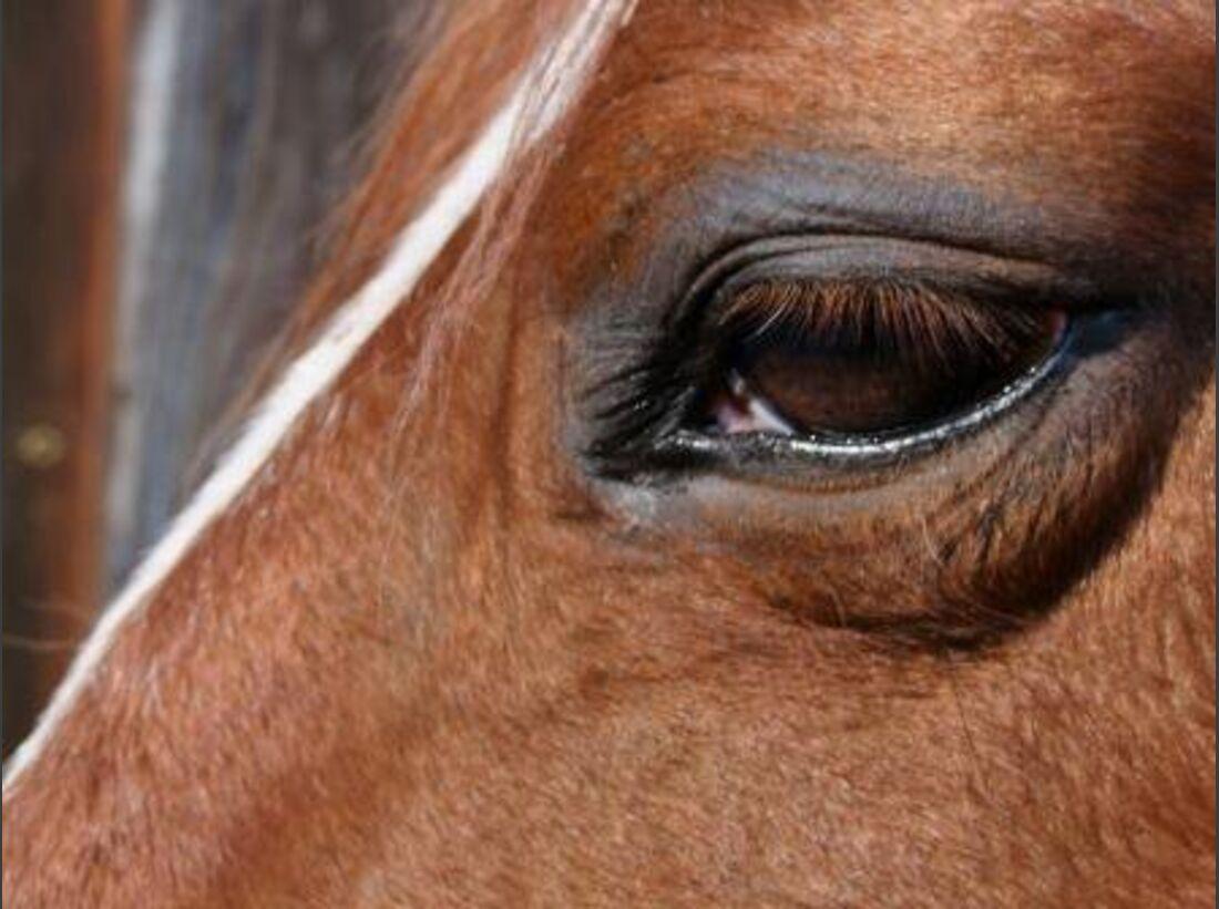 CAV Pferdeaugen Augen Tinker  MS _20