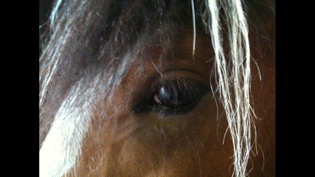 CAV Pferdeaugen Augen Tinker MS _25