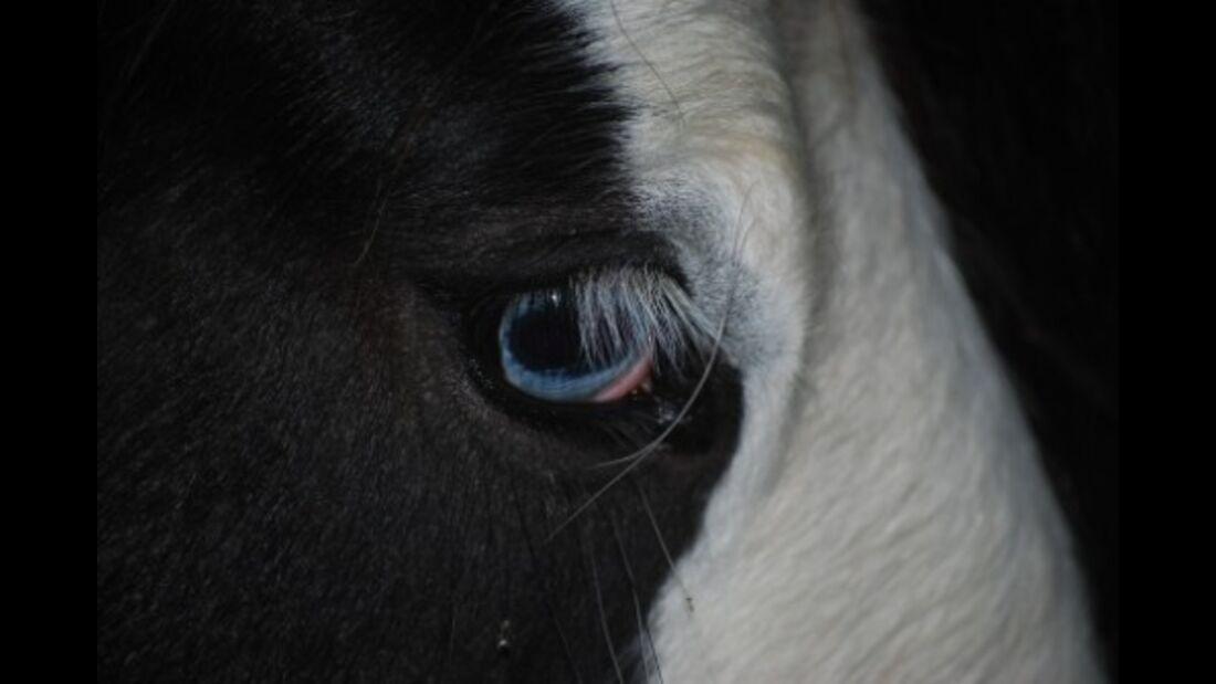 CAV Pferdeaugen Augen Tinker MS_33