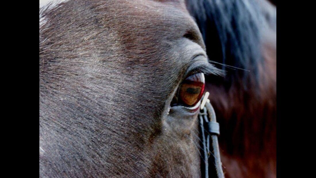 CAV Pferdeaugen Augen Trakehner MS _03