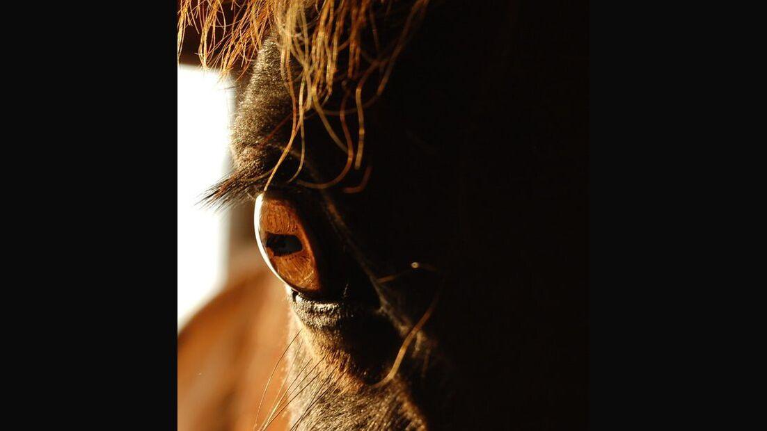CAV Pferdeaugen Augen Warmblut MS_49