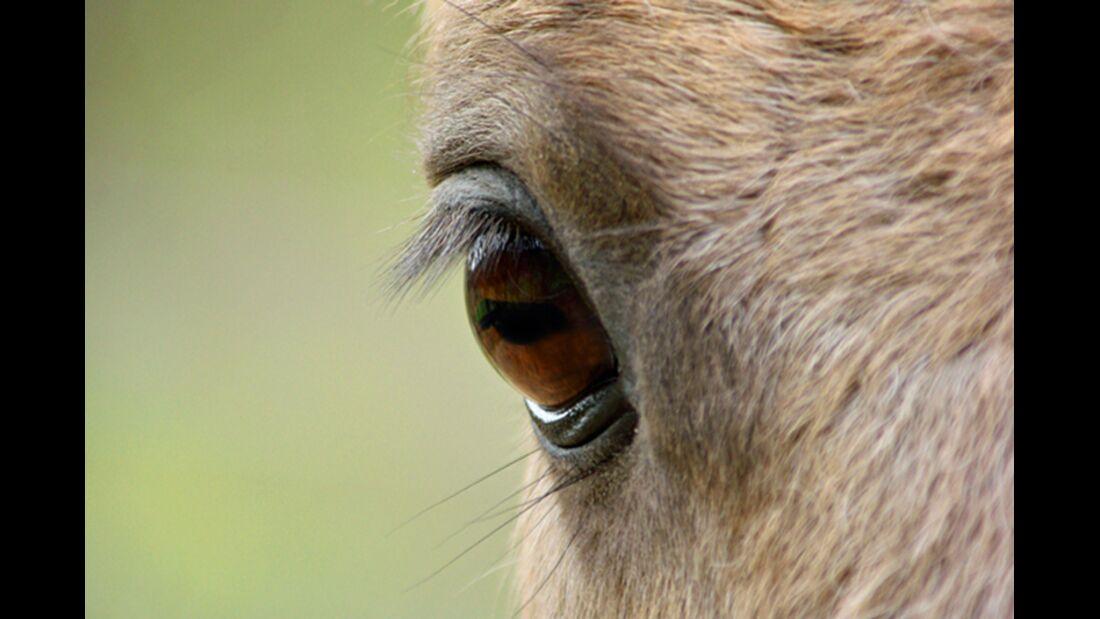 CAV Pferdeaugen Augen Wybbo