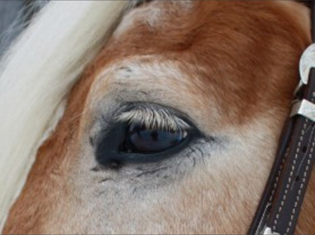 CAV Pferdeaugen Haflinger Benny MS