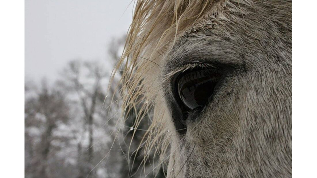 CAV Pferdeaugen Marina Geling