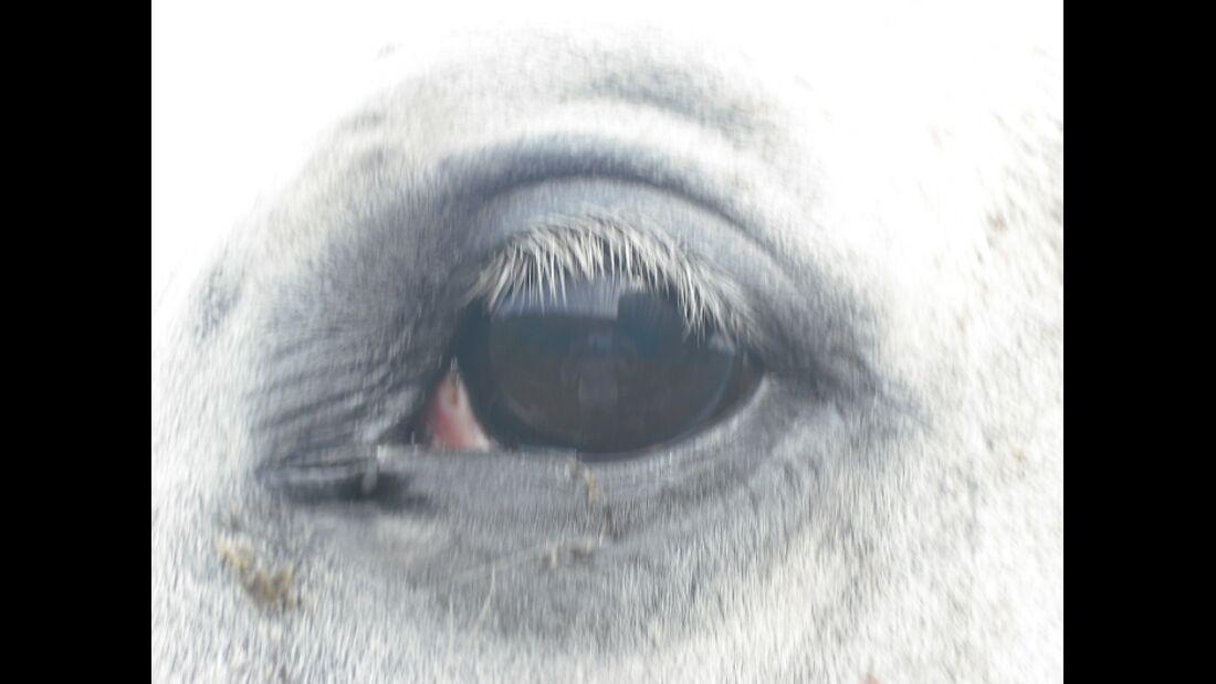 CAV Pferdeaugen Oldenburger Wallach Josh MS