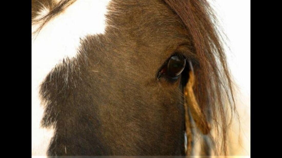 CAV Pferdeaugen Treuer Tinker MS
