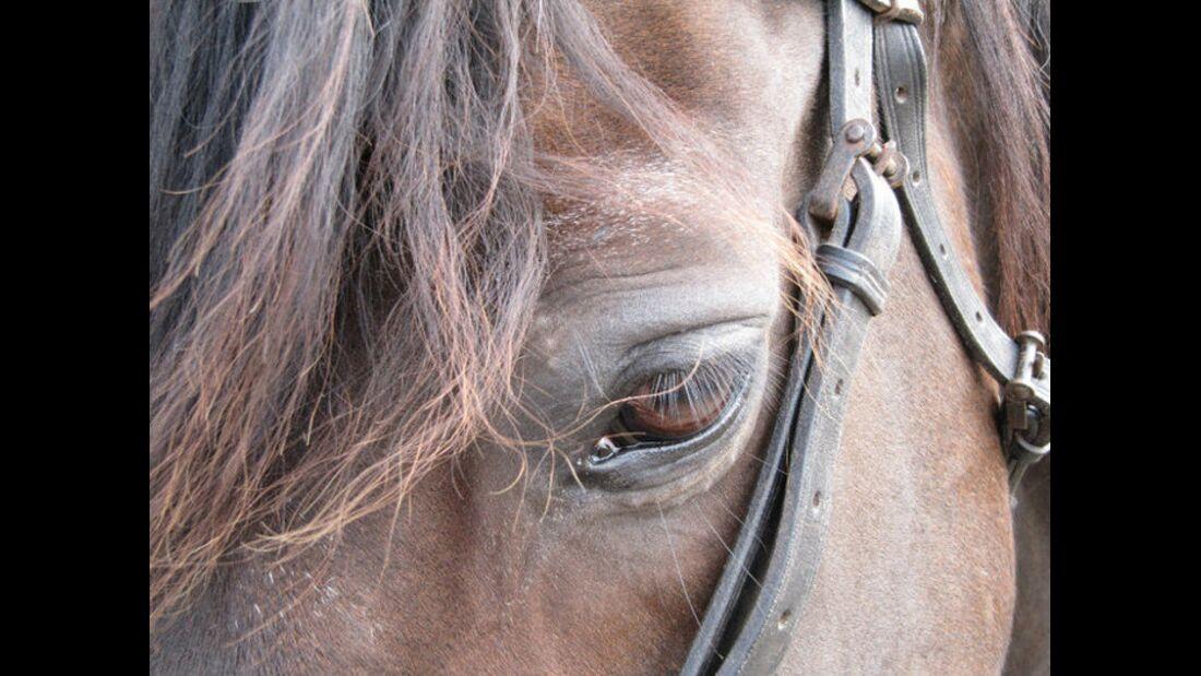 CAV Pferdeaugen Wallach Macho MS