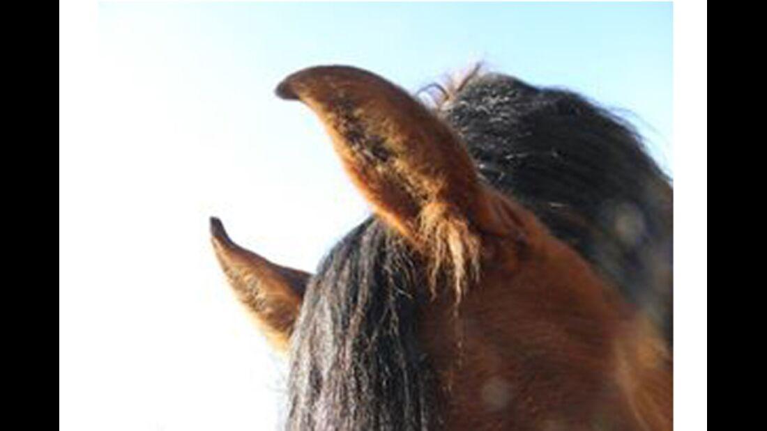 CAV Pferdeohren Leserfotos 36