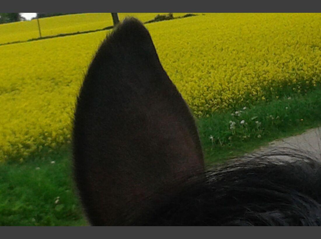 CAV-Pferdeohren-Petra-Resch