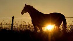 CAV Pferderipper Pferd Weide