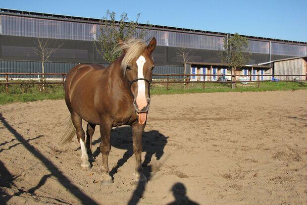 CAV Pferdezungen Katharina Röpnack