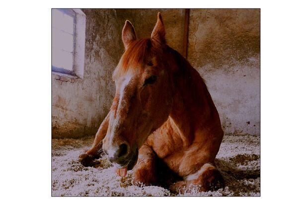 CAV Pferdezungen Sylvia Jordan