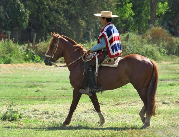 CAV Rodeo Chileno Caballo Chileno Rasse