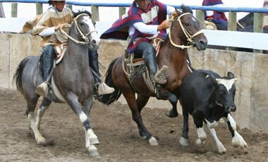 CAV Rodeo Chileno Caballo Chileno Rasse