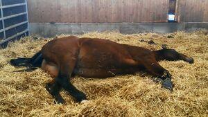 CAV Schlafendes Pferd