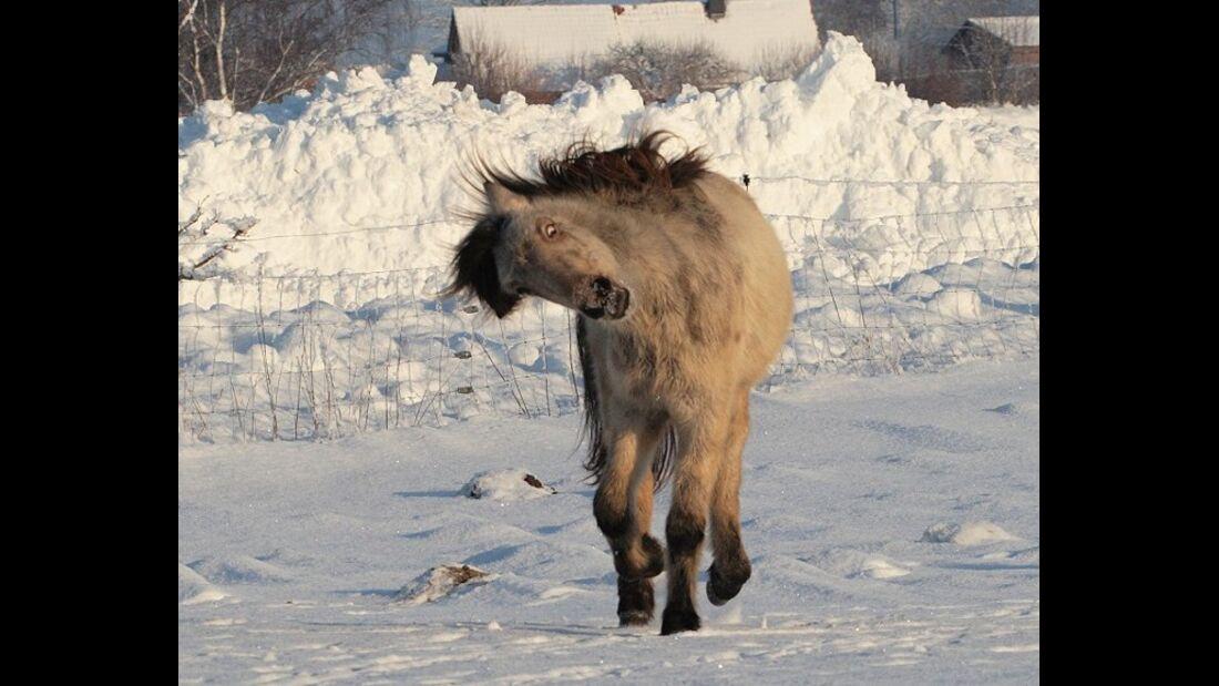 CAV Schräg Witzig Skuril aus der Pferdewelt Pferdefotos MS Mini-Shetty