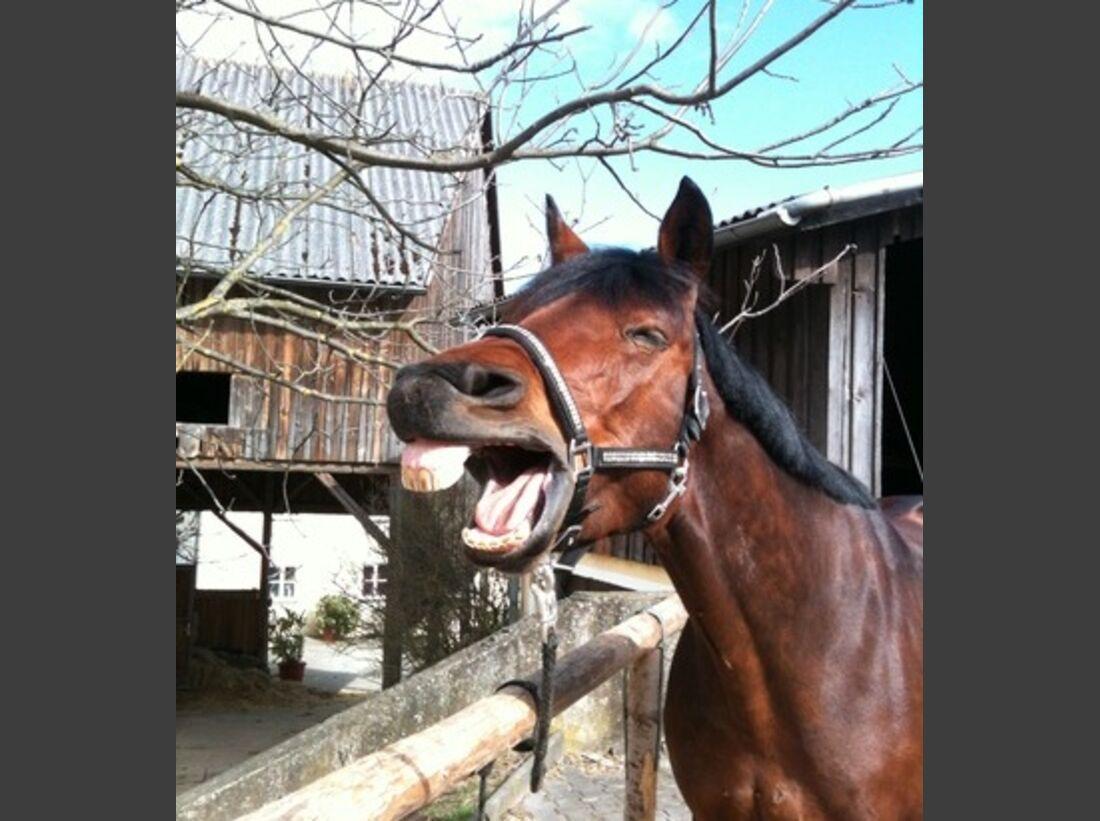 CAV Schräge Pferdefotos Gähnen Pferd Brauner