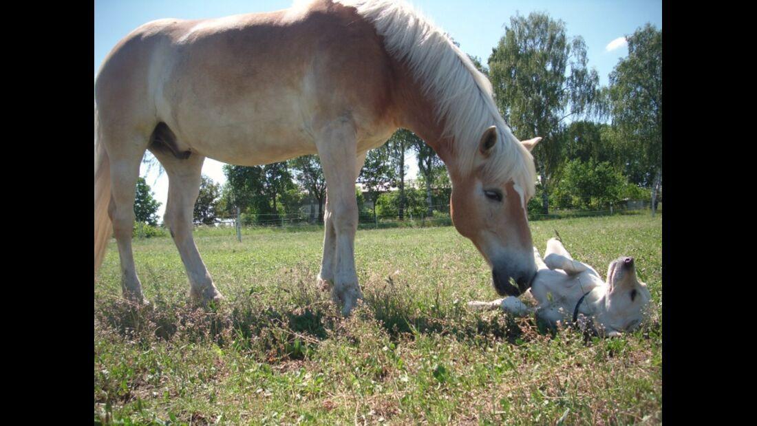 CAV Schräge Pferdefotos Haflinger Hund