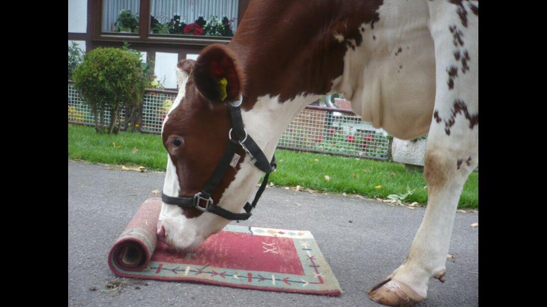 CAV Schräge Pferdefotos MS Kuh Teppich Agility