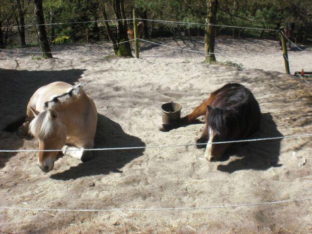 CAV Schräge Pferdefotos MS Paddock Dösen Pferd Schlaf