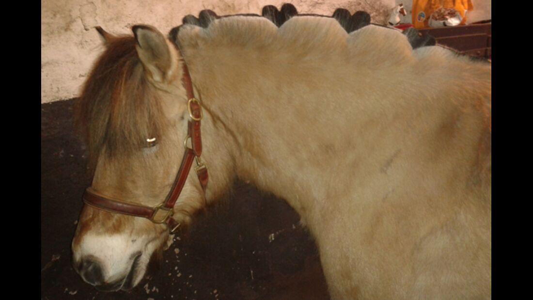 CAV Schur Pferde scheren Fell Fell-Frisur MS 1
