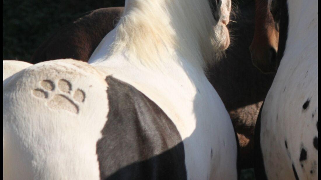 CAV Schur Pferde scheren Fell Fell-Frisur MS _Haflinger