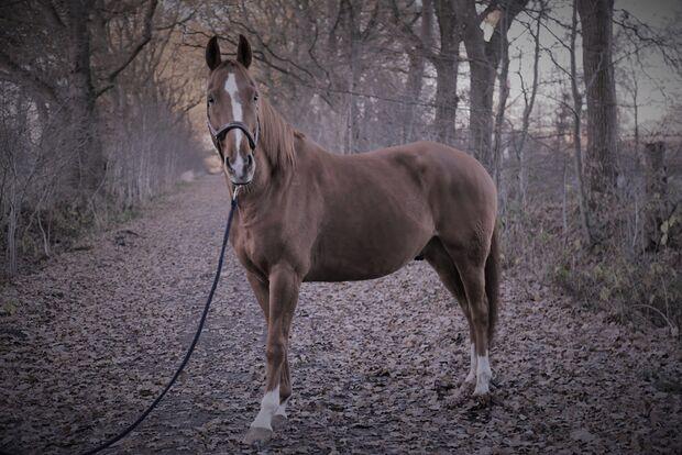 CAV Seelenpferd Rieke Kupfer