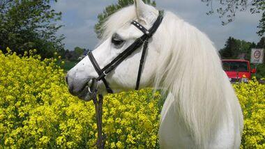 CAV Senioren  Pferdesenioren alte Pferde MS Granni