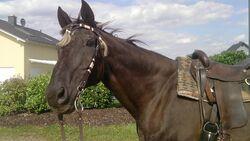 CAV Senioren  Pferdesenioren alte Pferde MS Polly Kim