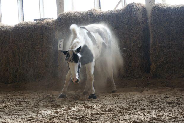 CAV-So-schütteln-sich-Pferde-Leserfotos-Louisa-Hering