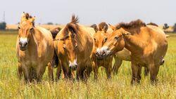 CAV Studie Przewalskis Wildpferde