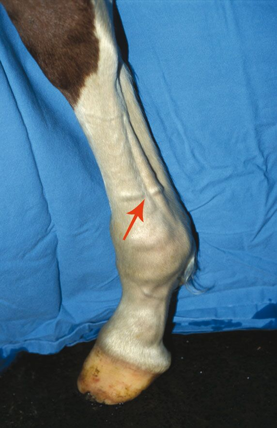 CAV Symptom-Lexikon - Fesselträgererkrankungen