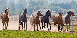 CAV Tennessee Walker Walkaway Farm 3