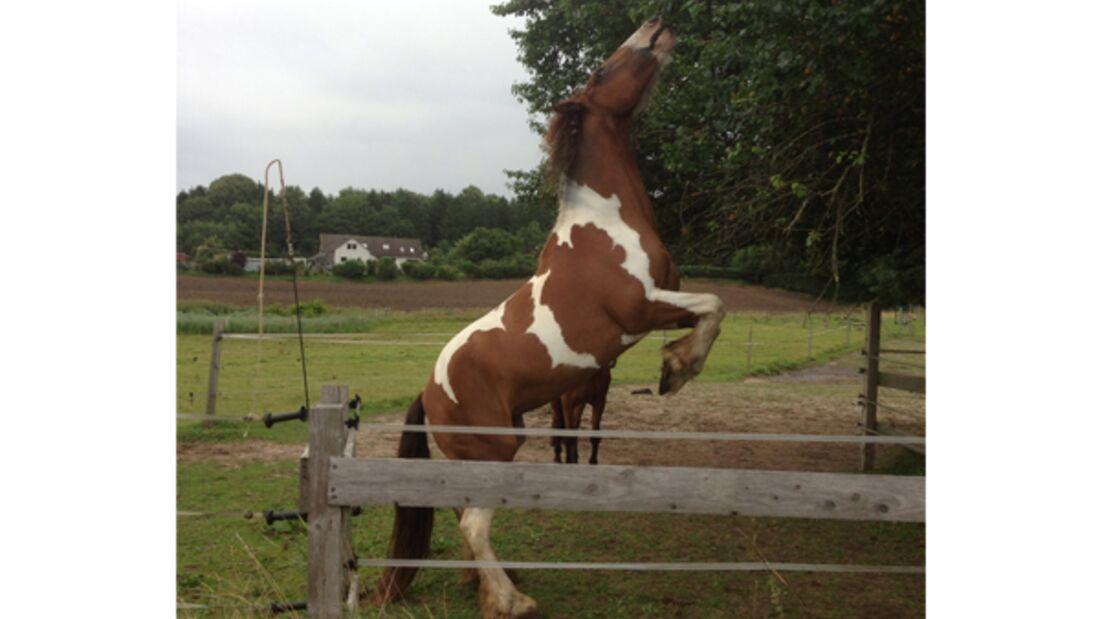 CAV Verfressene Pferde 12