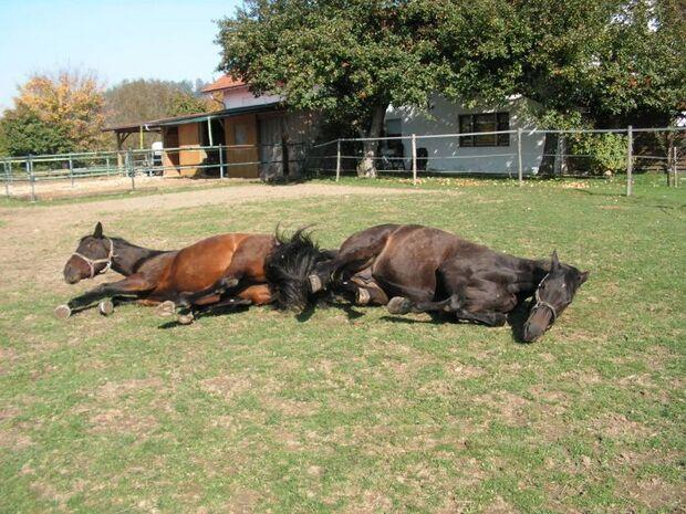 CAV Wälzen Pferd Koppel Weide Paddock Pferdefotos