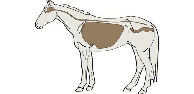 CAV Wo Viren das Pferd angreifen
