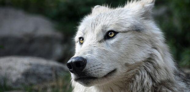 CAV Wolf 680er