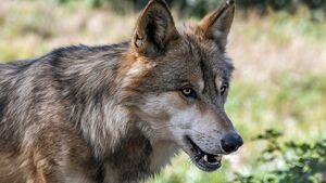 CAV Wolf Grau 680er