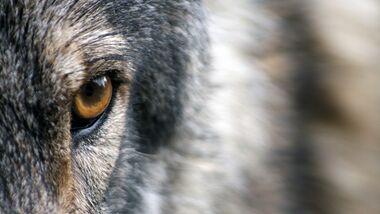 CAV Wolfsauge Wolf Auge